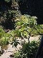 Sonchus fruticosus - Levada das 25 Fontes.jpg
