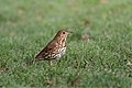 Song thrush by Phil McIver.jpg