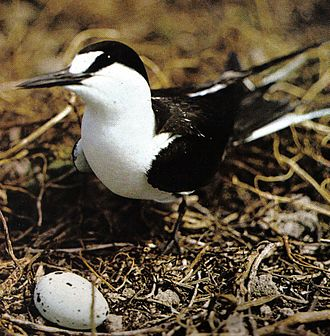"Sooty tern - Adult O. f. nubilosus with egg in ""nest"", Seychelles"