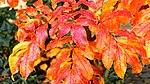 Sorbus Herbstlaub 06.jpg