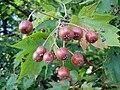 Sorbus torminalis fruits-001.jpg
