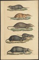 Sorex capensis - 1700-1880 - Print - Iconographia Zoologica - Special Collections University of Amsterdam - UBA01 IZ20900097.tif