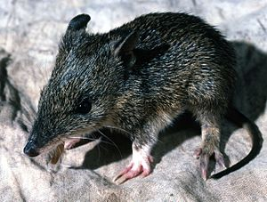 Southern brown bandicoot - Juvenile