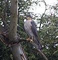 Sparrowhawk 5 (4465195732).jpg