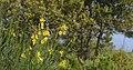 Spartium junceum, Sainte-Lucie Island, Aude 02.jpg