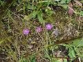 Spergula arvensis.001 - Monfrague.jpg