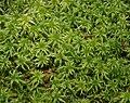 Sphagnum magellanicum 091207a.jpg