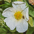 Spider on Cistus salviifolius.jpg