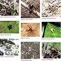 Spiders of Chinnar Wildlife Sanctuary 02.jpg