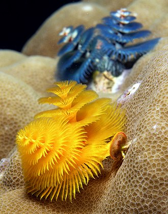 Polychaete - Christmas tree worms (Spirobranchus giganteus) from East Timor.