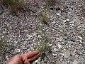 Sporobolus cryptandrus (5143702505).jpg