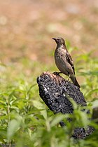 Spot Winged Starling Female.jpg
