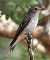 Spotted flycatcher, Muscicapa striata, at Marakele National Park, Limpopo, South Africa (16318446652).jpg