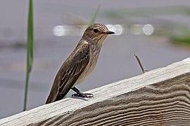 Spotted flycatcher (Muscicapa striata neumanni).jpg
