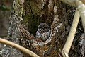 Spotted owlet-Athene brama.jpg