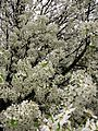 Spring-white-pear-tree - West Virginia - ForestWander.jpg