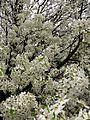 Spring-white-pear-tree - West Virginia - ForestWander.jpg