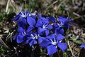Spring Gentian - Gentiana verna - panoramio (8).jpg