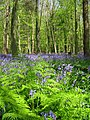 Spring colours, Nine Acre Wood - geograph.org.uk - 1306712.jpg