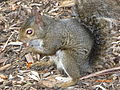 Squirrel in Golden Gate Park.JPG