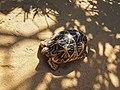 Sri Lankan Turtle.jpg
