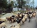 Srinagar - Sonamarg views 04.JPG