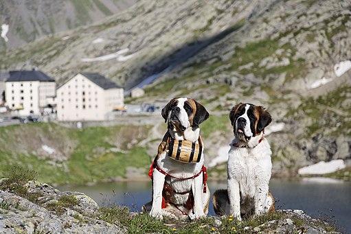 St. Bernard dogs