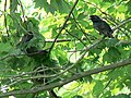Starling scares ratsnake from nest (4678380855).jpg