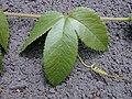 Starr-010423-0064-Passiflora tarminiana-leaf-Kula-Maui (23904241354).jpg