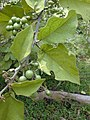 Starr-010425-0090-Solanum torvum-leaves and immature fruits-Haiku-Maui (23905724933).jpg
