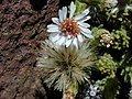 Starr-020625-0020-Tetramolopium humile subsp haleakalae-flower seeds-Kalahaku HNP-Maui (24550115545).jpg