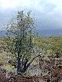 Starr-030424-0099-Myoporum sandwicense-habit-Puu o Kali-Maui (24523046752).jpg