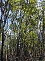 Starr-031013-0011-Acacia mangium-habit-Hamakuapoko-Maui (24378060540).jpg