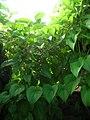 Starr-061106-9590-Dioscorea alata-habit-Maui Nui Botanical Garden-Maui (24750177832).jpg