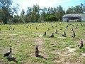 Starr-080614-9649-Ficus benjamina-habit with Laysan albatross-Gym Sand Island-Midway Atoll (24921865645).jpg