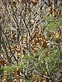 Starr-090429-6497-Albizia lebbeck-seedpods-Paia-Maui (24952540705).jpg
