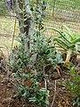 Starr-090430-6716-Ilex aquifolium-habit-Kula-Maui (24953198475).jpg