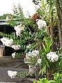 Starr-090623-1682-Lagerstroemia indica-white flowering habit-Hana-Maui (24336545704).jpg