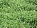 Starr-090707-2299-Solanum lycopersicum-large patch-Waikapu-Maui (24338251024).jpg