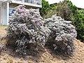 Starr-090806-3882-Leucophyllum frutescens-flowering habit-Wailuku-Maui (24878196321).jpg