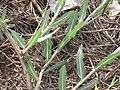 Starr-090814-4301-Lactuca sativa-leaves-Mokulele Hwy-Maui (24878894181).jpg