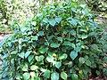 Starr-091104-8930-Piper gualiameanse-habit-Kahanu Gardens NTBG Kaeleku Hana-Maui (24870351252).jpg
