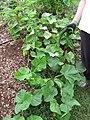 Starr-091113-9706-Cucumis sativus-burpless variety fruit and plant-Olinda-Maui (24989814335).jpg