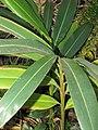 Starr-110209-0726-Alpinia zerumbet-leaves-Resort Management Group Nursery Kihei-Maui (24447604213).jpg