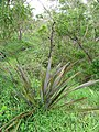 Starr-110307-2934-Phormium tenax-habit-Kula Botanical Garden-Maui (25052692246).jpg
