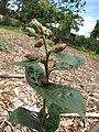 Starr-110621-6255-Vaccinium hybrid-Southern highbush cv Jubilee buds-Hawea Pl Olinda-Maui (24979086902).jpg