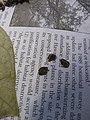 Starr-110719-6989-Calotropis procera-voucher101229 01-Kanapou Headwaters-Kahoolawe (24732534749).jpg