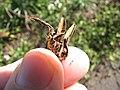 Starr-120403-4090-Aloe arborescens-seed capsule-Kula-Maui (24842758360).jpg