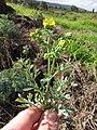 Starr-120403-4107-Ruta graveolens-flowers and leaves-Kula-Maui (24842786820).jpg