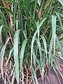 Starr-120608-7238-Cenchrus purpureus-Green Banagrass habit-Ulupalakua Ranch-Maui (25026846602).jpg